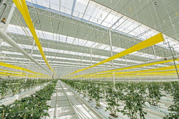 Er staan nu al kilometers tomatenplanten in het enorme serrecomplex.