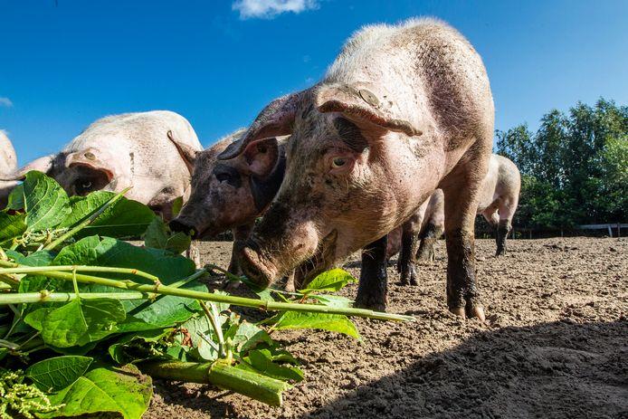 Varkens smullen bij Piggy's Palace in Bathmen van de Japanse Duizendknoop.