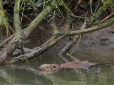 Dijkwachters op de uitkijk voor bevers die bij hoogwater holen in de dijk graven