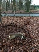 Een ree die begin januari in Berg en Dal een dwarslaesie opliep toen hij op een hek knalde tijdens een achtervolging door een loslopende hond. De ree slaagde erin onder het hek door te kruipen. Aan de sporen in de bladeren is zijn doodstrijd te zien. Jachtopziener Marcel Kamps verloste het dier uit zijn lijden.
