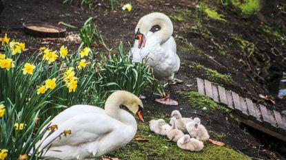 Eerste zwanenkuikentjes geboren