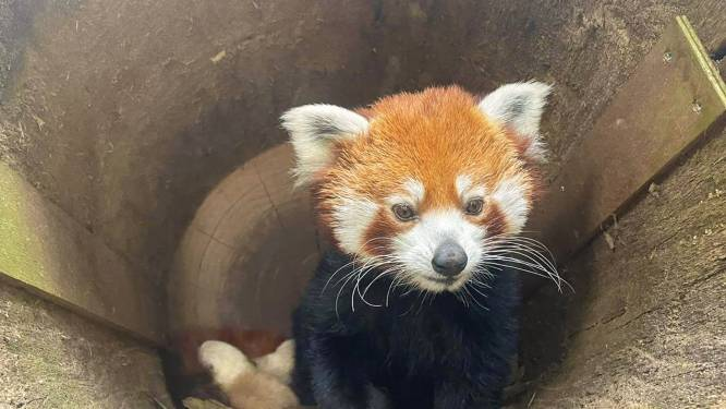 Schattig! Rode panda's geboren in DierenPark Amersfoort