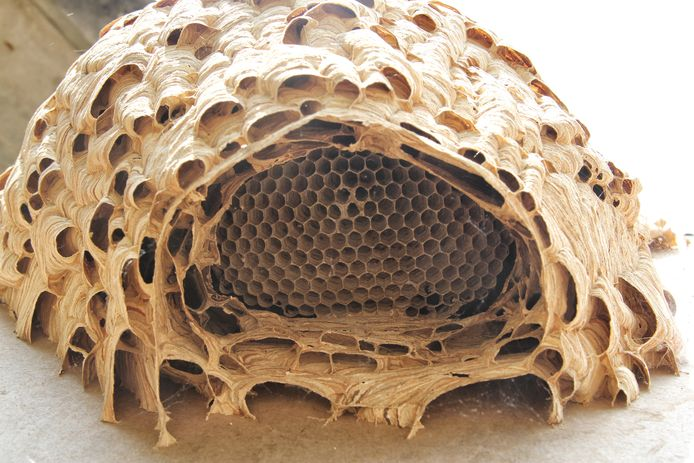 Nest van een hoornaar