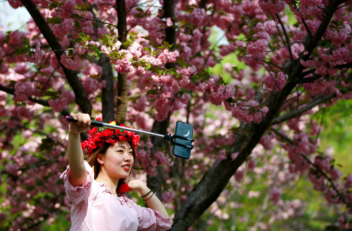 Een bezoeker van het Yuyuantan Park, in het Chinese Beijing, neemt een selfie tussen de kersenbloesem met een bloemenkrans op het hoofd. Chinese romantiek op en top! Foto How Hwee Young