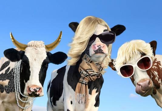 Gooische koeien op billboard, van de Bodegraafse kaashandel.