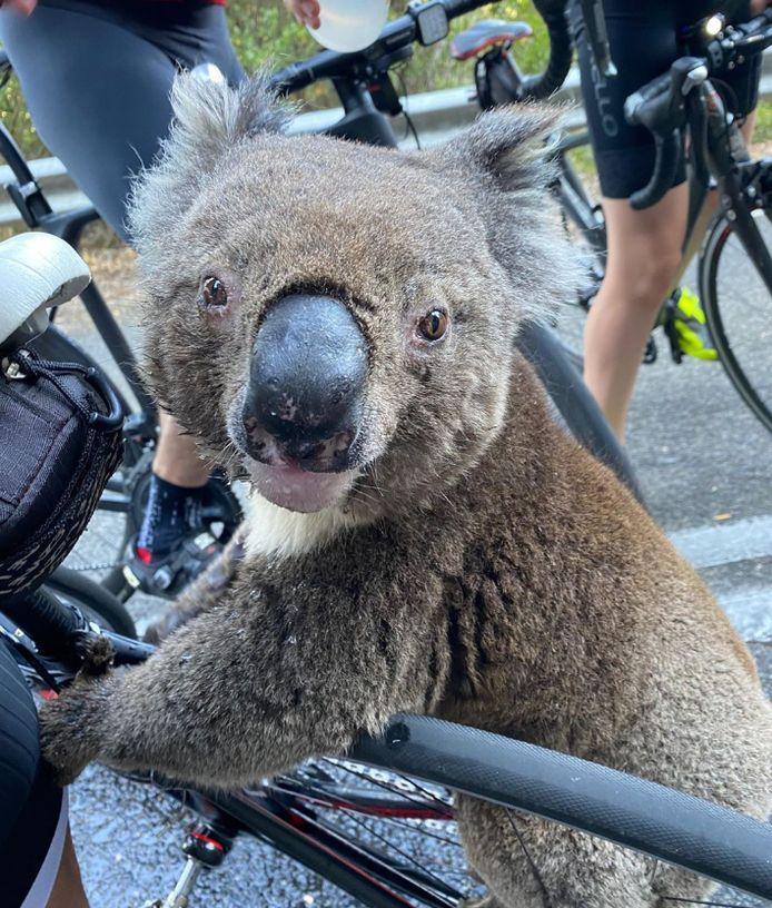De dorstige koala op de fiets.