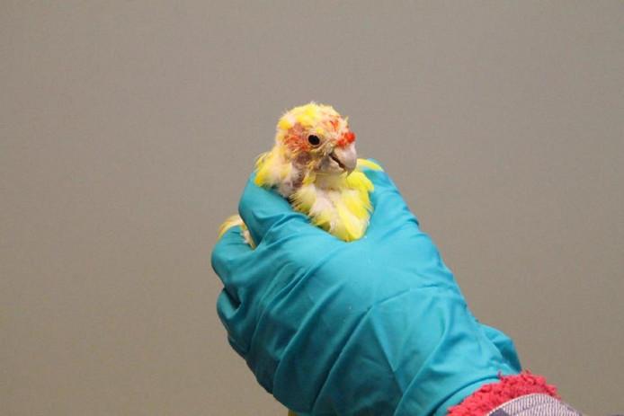 Eén van de gedumpte vogels, de kakariki, is er slecht aan toe.
