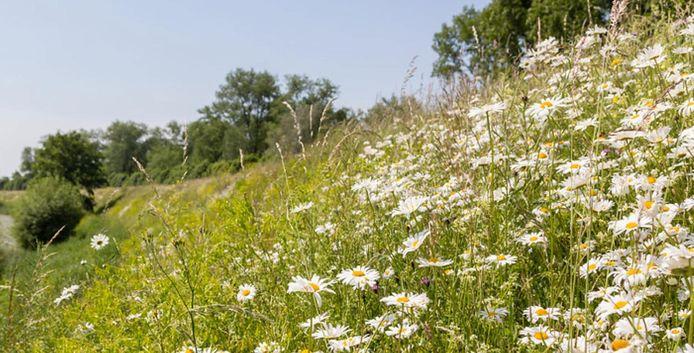 Bloemrijke dijk, met inheemse planten. Het schoolvoorbeeld voor andere dijken in het land.