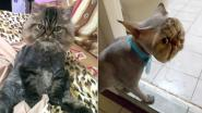 Baasje stuurt kat naar kapsalon voor scheerbeurt. Het onvoorziene resultaat maakt haar hysterisch