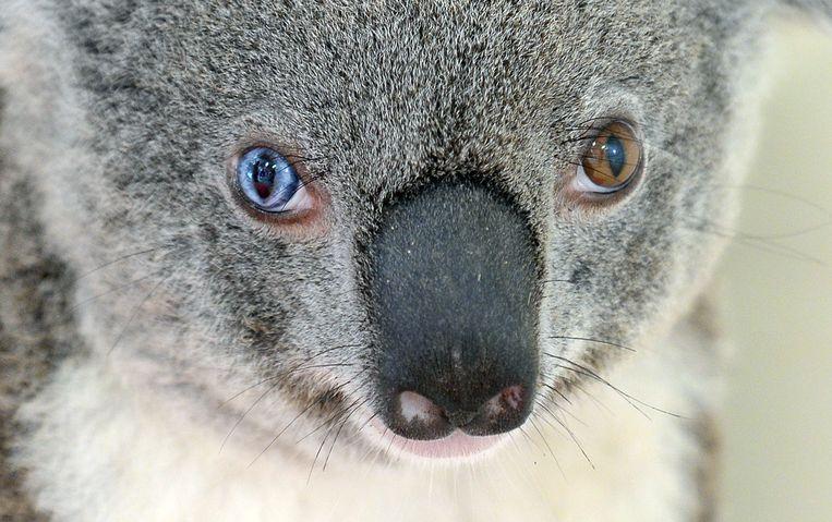 Deze koala kreeg van de Australische zoo de naam Bowie omdat hij twee verschillende ogen heeft.  Beeld AFP