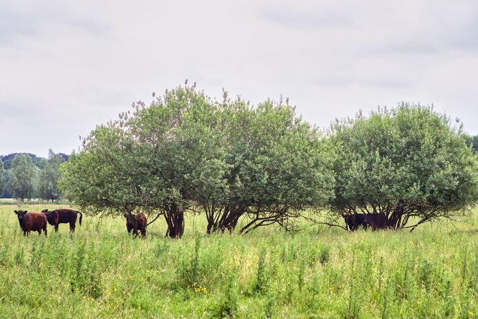 De Galloway-runderen in de landgoederenzone van de Haagse Beemden.