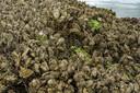 Gaas houdt de oesters bij elkaar.