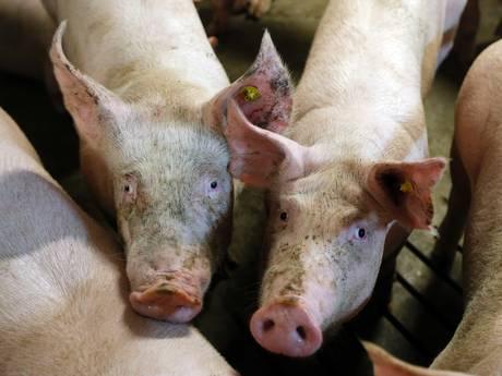 Varkenshouder speculeert op miljoenenclaim bij Dinkelland