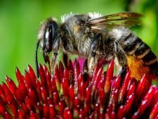 La menace des pesticides pour les abeilles serait sous-estimée... le serpent qui se mord la queue