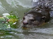 Bijzonder: Otter gespot tijdens vaartocht in Ankeveense Plassen