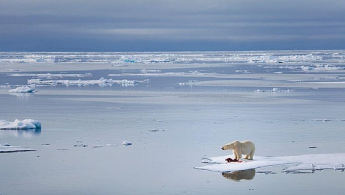 Door het smelten van de ijskappen worden ijsberen bedreigd met uitsterving