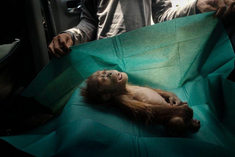 Een orang-oetan-operatie in Sumatra vastgelegd door Alain Schroeder. Beeld EPA