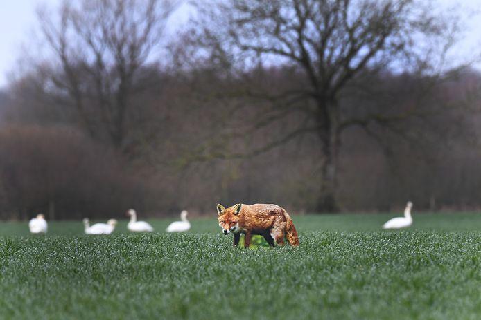 Ganzen moeten niets hebben van vossen, zwanen zijn minder onder de indruk van het dier.