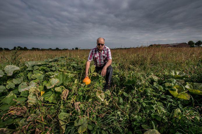 Henk van Maurik tussen zijn pompoenen op het veld dat voorheen vol zat met mussen. Hij denkt dat de vogeltjes zijn verdwenen nadat het veld is besproeid en eet zijn pompoenen niet meer.
