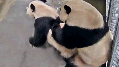 Eindelijk! Reuzenpanda's in Nederlands dierenpark hebben 'het' gedaan (na drie jaar wachten)