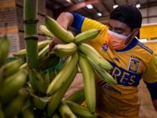 Hoe lang kunnen we nog bananen eten? Hardnekkige schimmel verwoest plantages