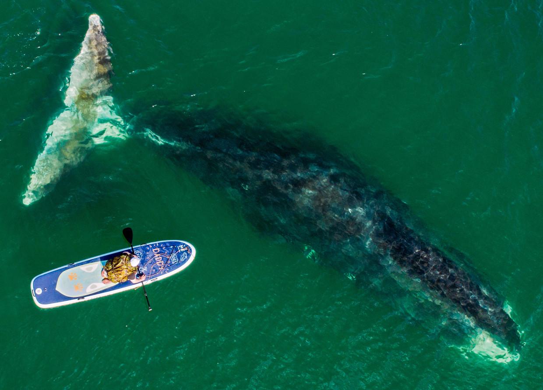 Een ijswalvis passeert een surfer in de Wrangelbaai in Rusland. De ijswalvis is nog nooit onder water gefotografeerd.