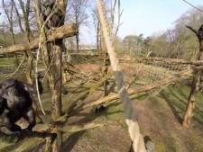Chimpansee steekt letterlijk een stokje voor dronevideo