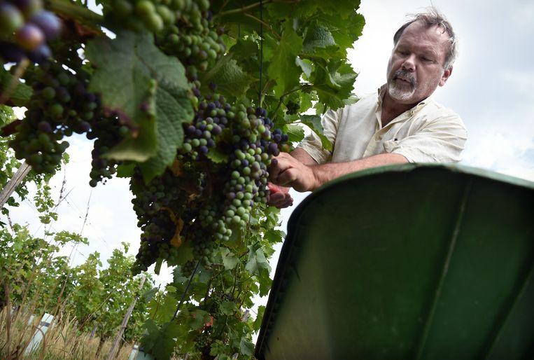 Rob Roth knipt de druiven er tussenuit die niet snel genoeg rijpen. Beeld Marcel van den Bergh