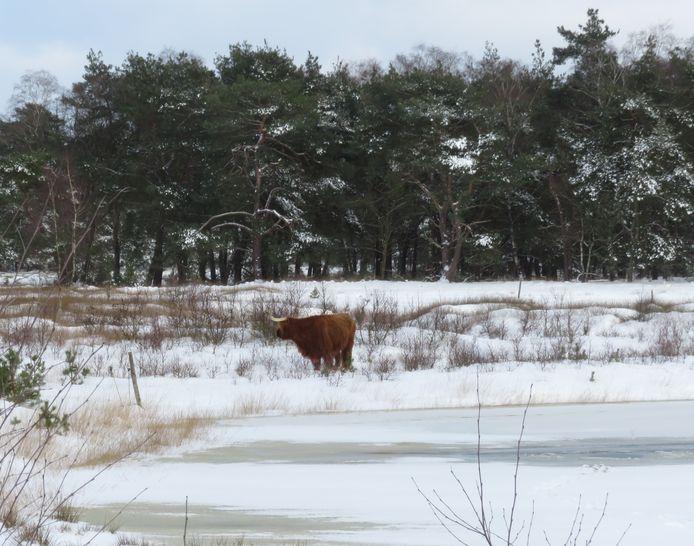 Een Schotse hooglander staat bij een plas in natuurgebied De Sprengenberg, waar een jong dier waarschijnlijk door het ijs zakte.