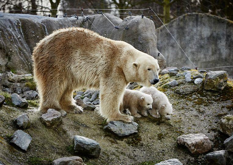 Jonge ijsbeertjes bij hun moeder in de Nederlandse zoo Blijdorp.