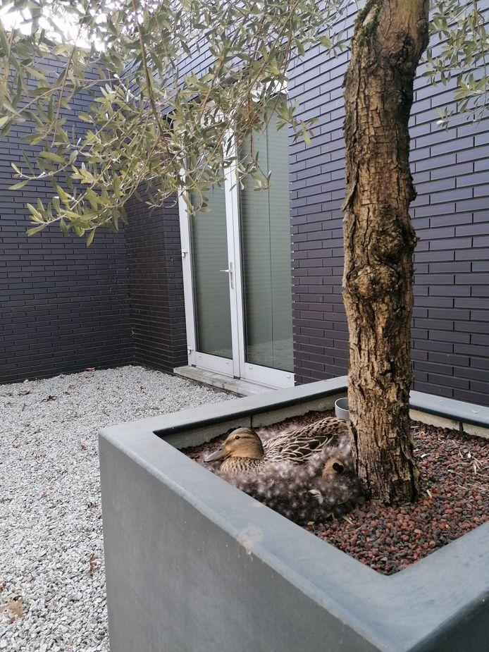 In de binnentuin van Asselbergs & Klinkhamer Advocaten en E&L Notarissen in Etten-Leur, heeft een moeder-eend zich genesteld in de plantenbak.