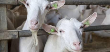 Meer geiten betekent niet per se meer longontsteking
