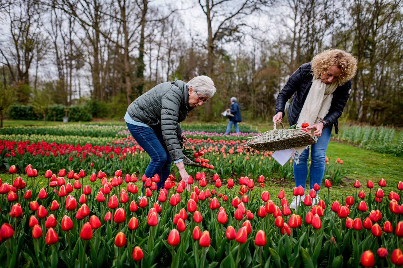 Moeder Joke Bos en dochter Irene Brok plukken tulpen in Stokkum.