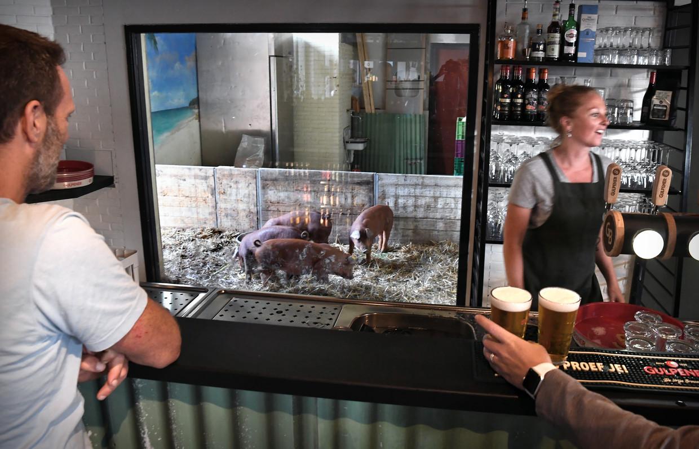 Achter de bar van het Smaakpark lopen varkens die later verwerkt zullen worden in gerechten. Beeld Marcel van den Bergh / de Volkskrant