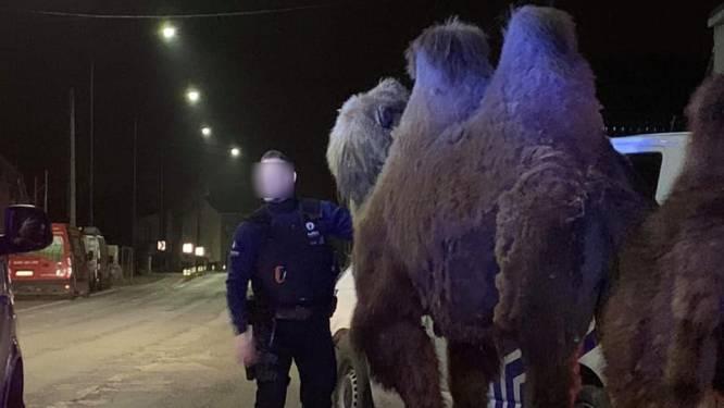 Politie van Doornik zoekt eigenaar van twee kamelen en één dromedaris