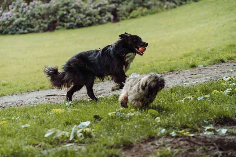 Honden in het Dudenpark in Vorst. Beeld Illias Teirlinck