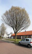 Voorbeeld van volwassen beukenboom, verderop in de wijk in Someren.