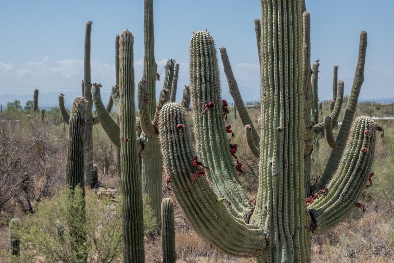 Een saguaro, de iconische cactus van de Amerikaanse woestijn, heeft veel meer vruchten dan voorgaande jaren. Het kan een teken zijn dat de cactus onder extreme hitte lijdt. Beeld Eline van Nes