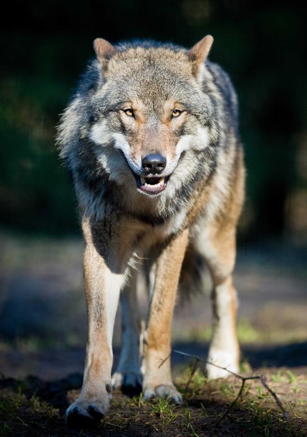 De wolf.
