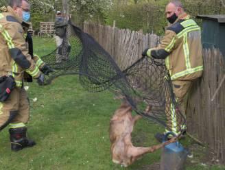 Jong hert met gebroken poot belandt in achtertuin Kontichs gezin: diertje kan ontsnappen uit netten van dierenbescherming
