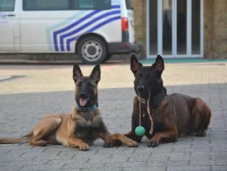 """Politie Knokke rouwt om politiehonden Drago (5) en Blue (1), die omkwamen in crash: """"Waardevolle leden van ons team"""""""