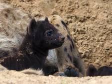 Twee hyenapups geboren in Beekse Bergen