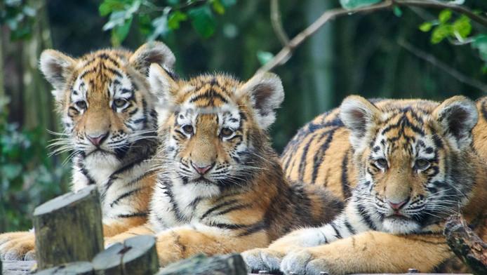 De tijgerdrieling in het Dierenpark