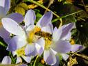 De boerenkrokus is een van de eerste nectarkroegen.