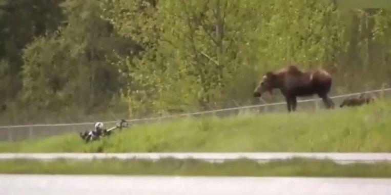 Eland valt fietser aan.