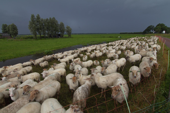 Al het vee moet van de dijken af, aldus het Hoogheemraadschap de Stichtse Rijnlanden.