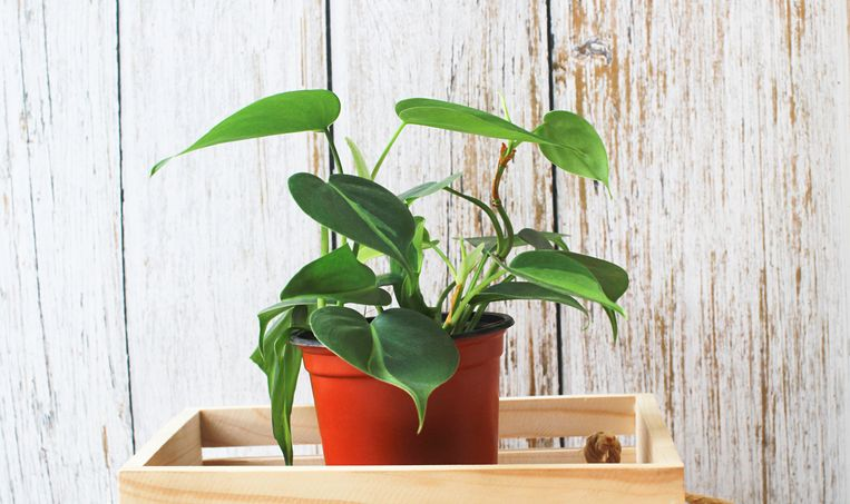 Philodendron scandens Beeld Getty Images