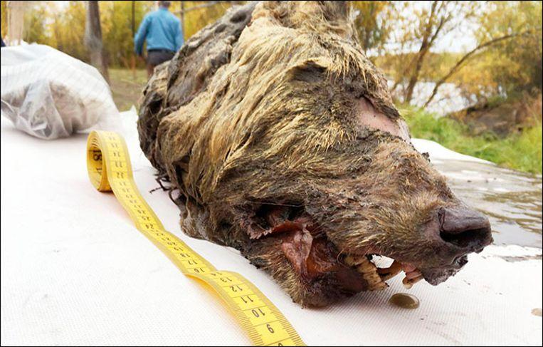 De kop is zo'n veertig centimeter lang, dat is de helft van het lichaam van een Siberische wolf. Beeld Albert Protopopov/The Siberian T