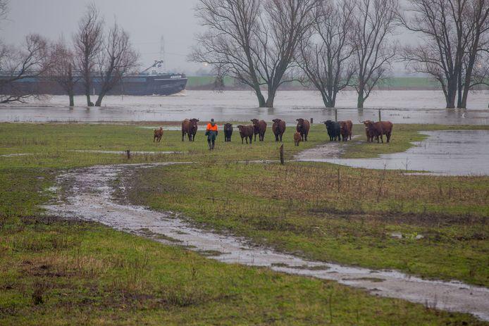 BEUNINGEN:  Runderen en paarden in het hoge water in Beuningen, Beuningse Uiterwaarden