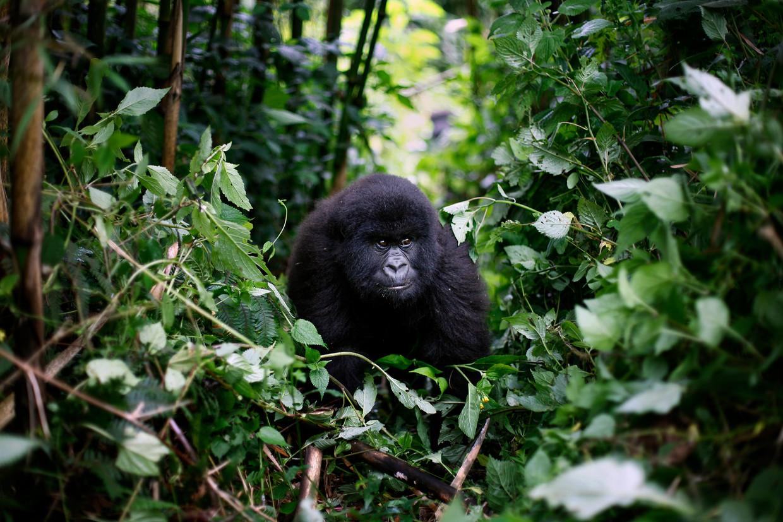 Een berggorilla in Virunga National Park in Congo.